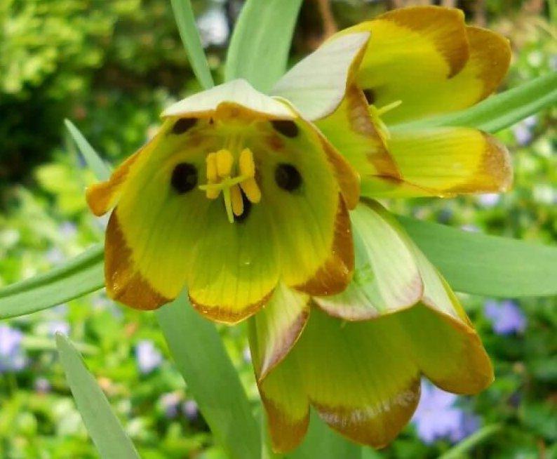 Представитель фритиллярия Рябчик императорский, с цветками зеленовато желтой окраски