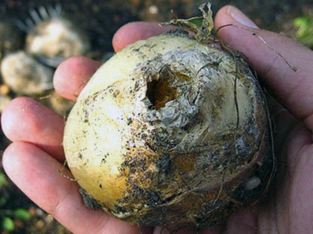 Луковицы рябчика выкапывают после засыхания надземной части