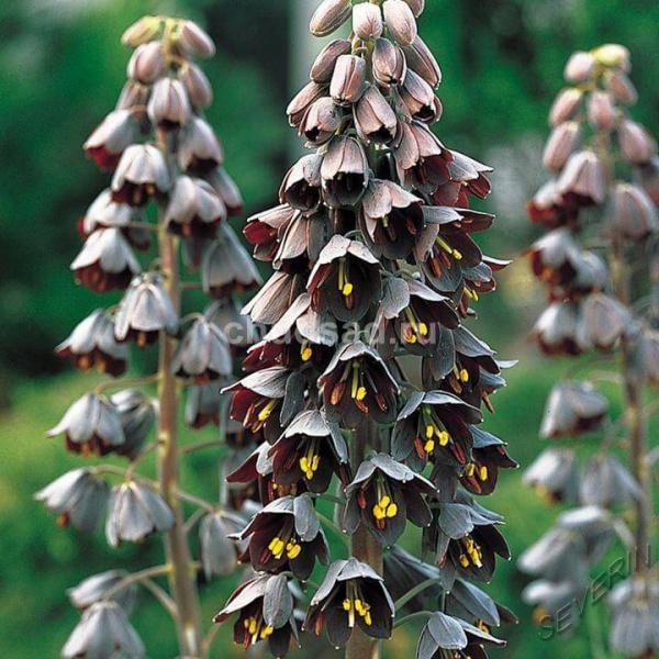 Темно бардовые цветки рябчика персидского плотно сидят на стволе