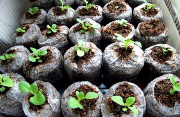 Посев семян обриеты на рассаду