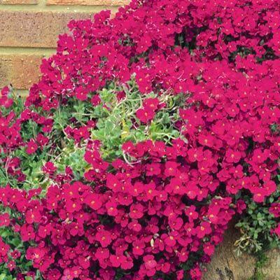 Красивейшее почвопокровное растение с красными цветами  Ред Кинг