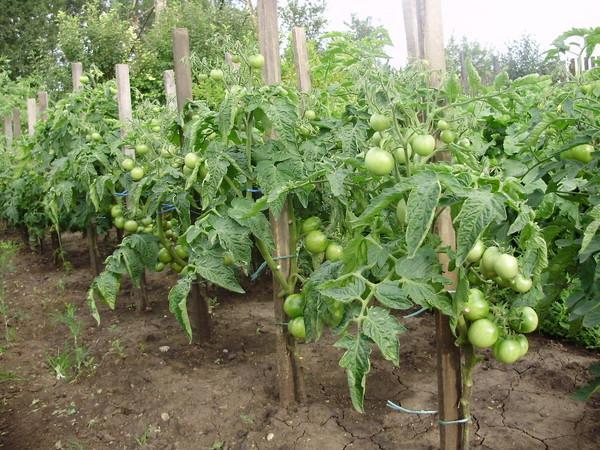 Среднерослые томаты для теплиц