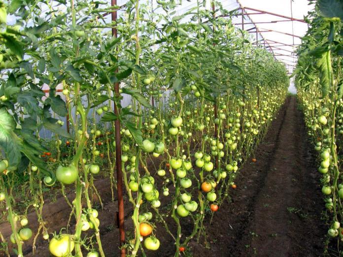 Индерминантные помидоры для теплицы
