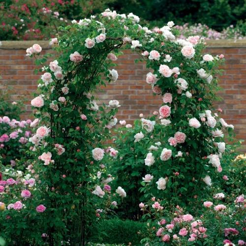 Чем привлекают плетистые розы
