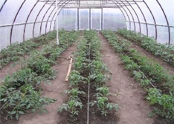 на каом расстояни высаживать томаты в теплице