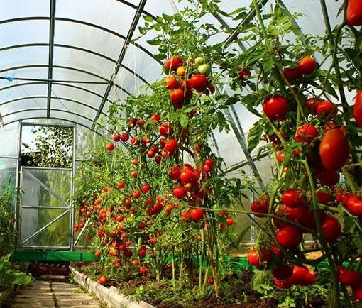Теплица из поликарбоната для томатов