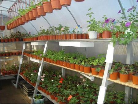выращивание цветочной рассады в теплице