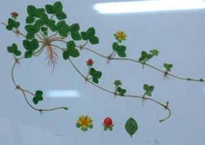 Размножение дюшенеи семенами , розетками
