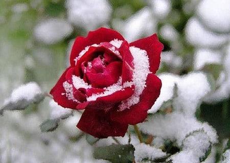 уход за розами поздней осенью
