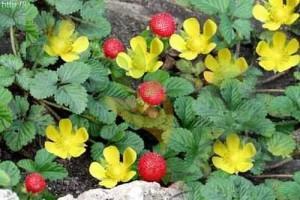Различие дюшенеи и земляники в окраске цветков и положении спелых плодов