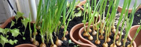 5-vidov-zeleni-kotorye-legko-vyrastit-na-podokonnike-6116c25