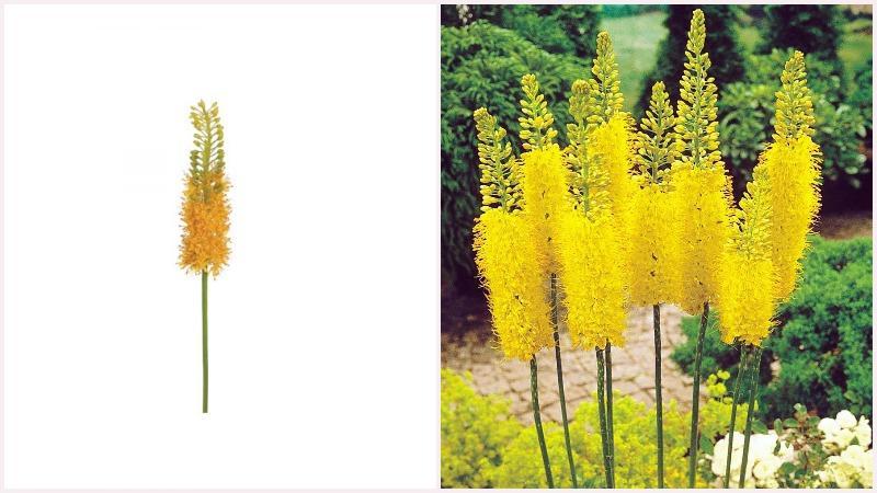 Эремурус или Ширяш могут похвастаться крупной удлиненной цветочной кистью
