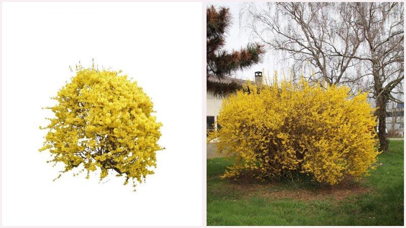 Кустарник форзиция отличается колокольчатыми ярко-желтыми цветками