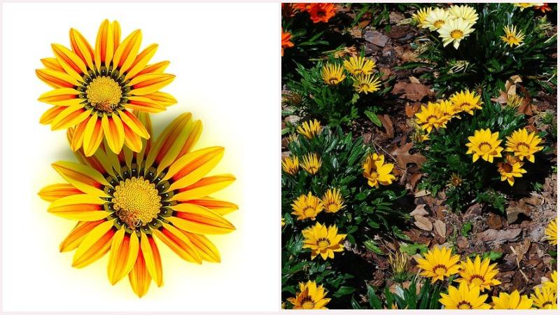 Соцветия гацании имеют вид одиночных корзинок, похожих на большую ромашку