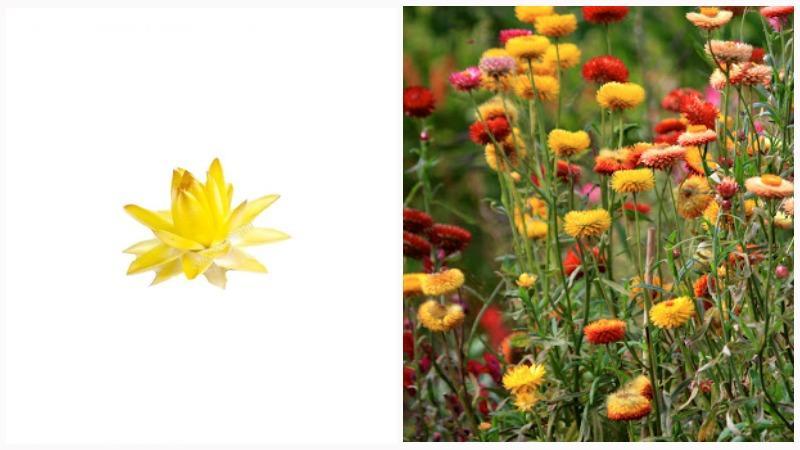 Гелихризум еще называют цмином, златоцветом, бессмертником или иммортелем