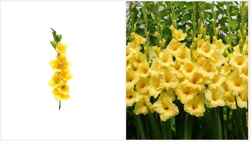 Шпажник или гладиолус - многолетнее клубнелуковичное растение