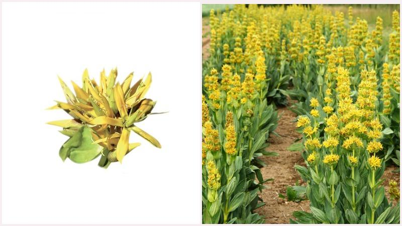 Горечавка желтая -многолетнее растение с прямостоячим стеблем и крупными цветками
