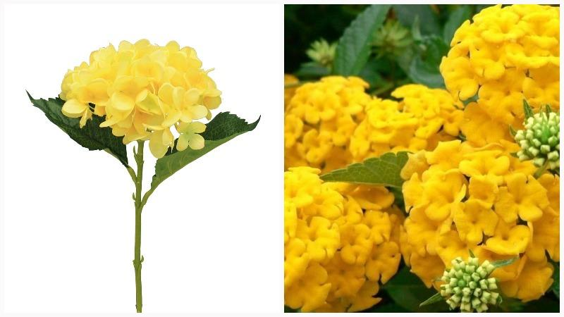 Соцветия гортензии собраны в метелки