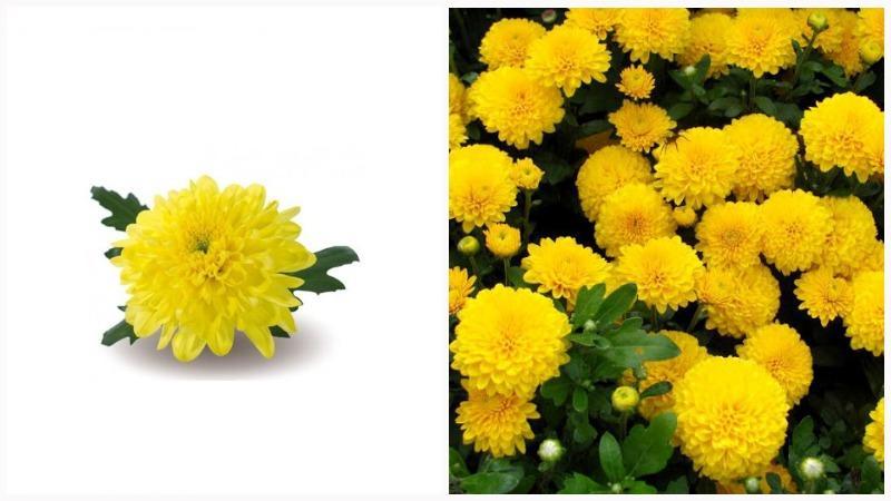 Стебли хризантем могут быть длинными, до 120 см.