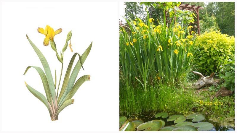 Ирис болотный является гидрохором, поесть его семена распространяются водой