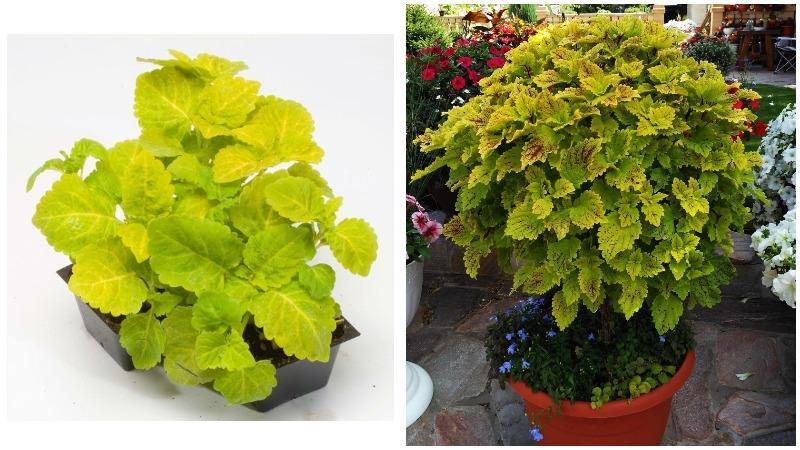 Желто-зеленые листья колеуса можно использовать в ландшафтном дизайне