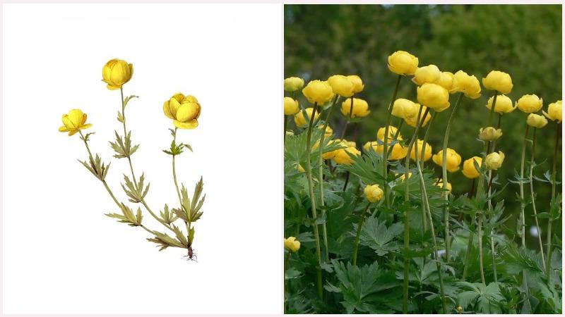 Маленькие лепестки желтого цвета делают купальницу ярким травянистым растением