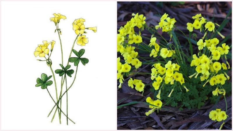 Кислица не требует богатой перегноем почвы, так как это провоцирует сильный рост листьев, в ущерб цветению.