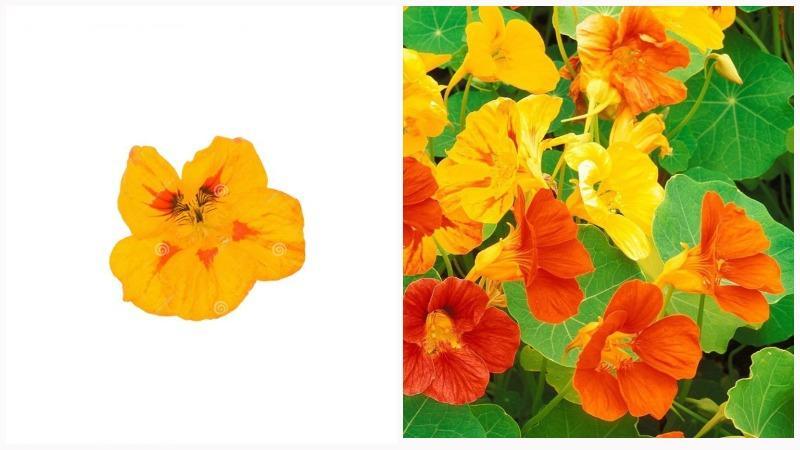 Желтые цветки настурции состоят из 5 лепестков и чашелистиков.