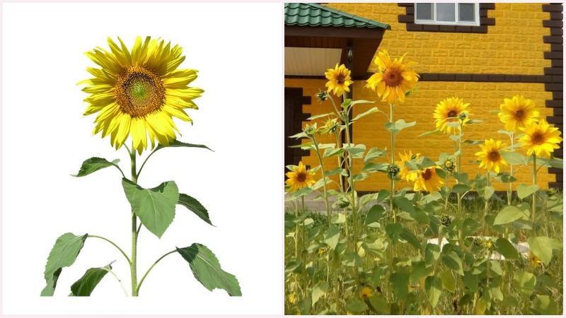 Декоративноцветущий подсолнух чаще всего выращивает как хозяйственное растение