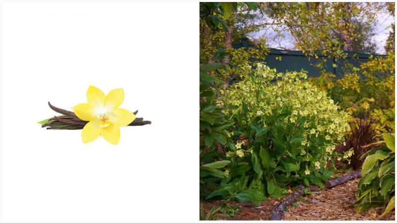 Душистый табак может расцвести желтыми цветками звездчатой формы