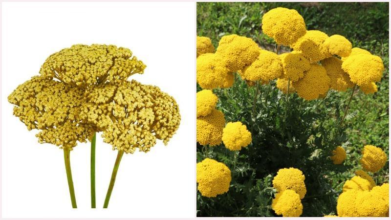 Тысячелистник используется в ландшафтном дизайне как почвопокровное растение