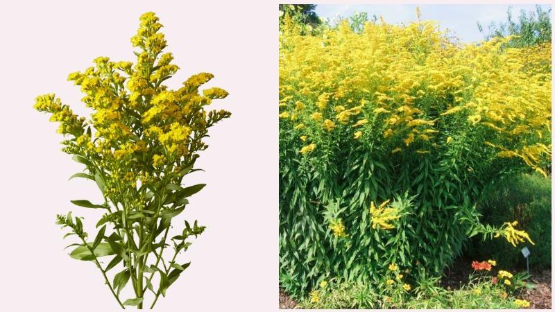Растение Солидаго имеет золотистые метельчатые соцветия