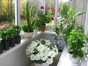 На балконе лоджии можно выращивать массу комнатных цветов
