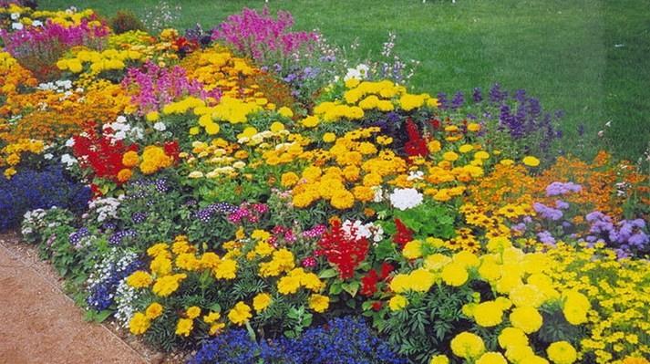 Однолетние красиво цветущие растения