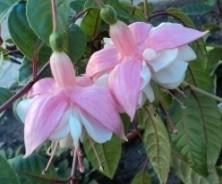 фуксия - комнатное растение
