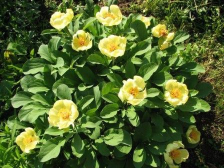 пионы желтые травянистые