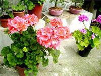 домашнее полезное растение герань