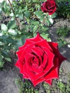 как зимует роза