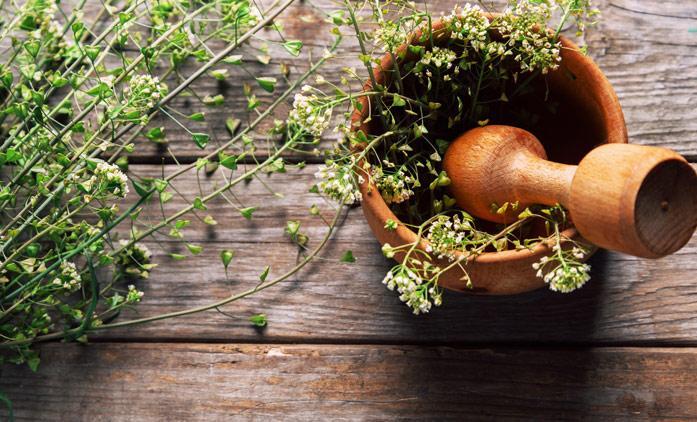 лечебное растение  Пастушья сумка