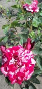 полосатая роза