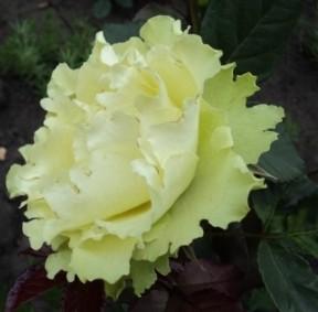 фото зеленой розы