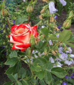 чайногибридная роза фото