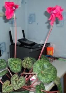 выращивание  цикламена персидского