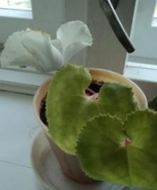 выращивание цикламена