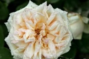 плетистая нуазетовая роза