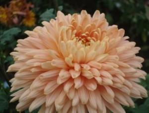 Формирование крупного цветка