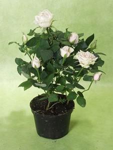 миниатюрные розы в теплице