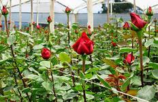 выращивание роз в зимней теплице