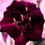 сорта садовых лилейников