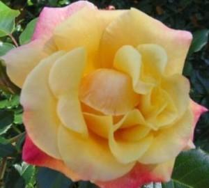 роза для тенистого сада